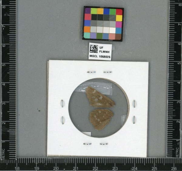 Atrytonopsis image