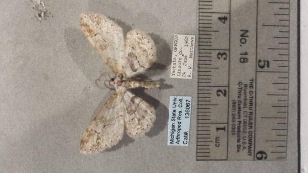 Iridopsis emasculata image