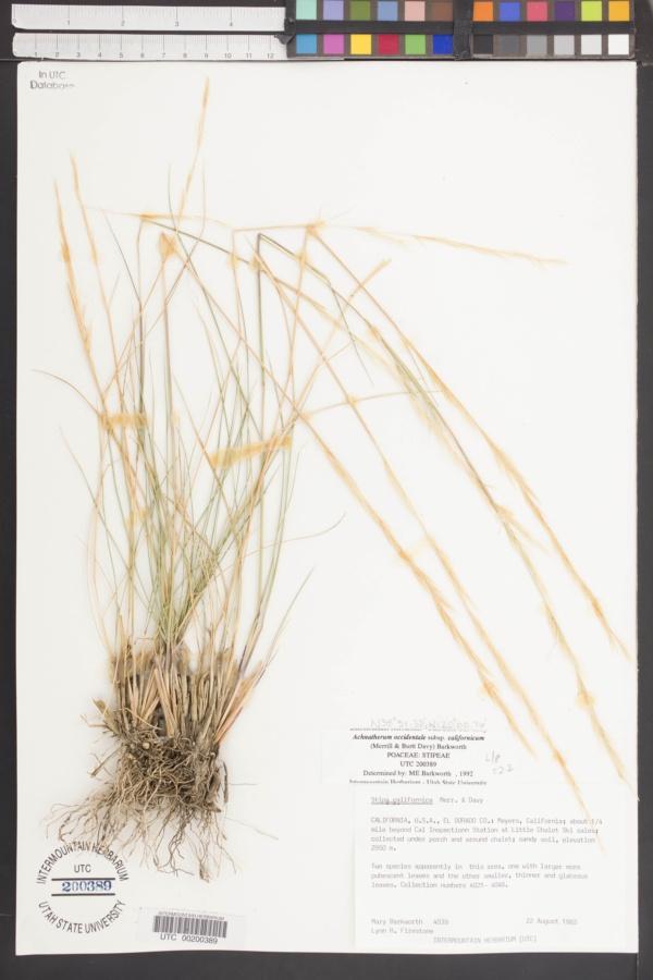 Achnatherum occidentale subsp. californicum image