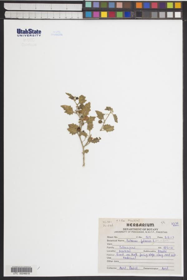 Solanum foliosum image