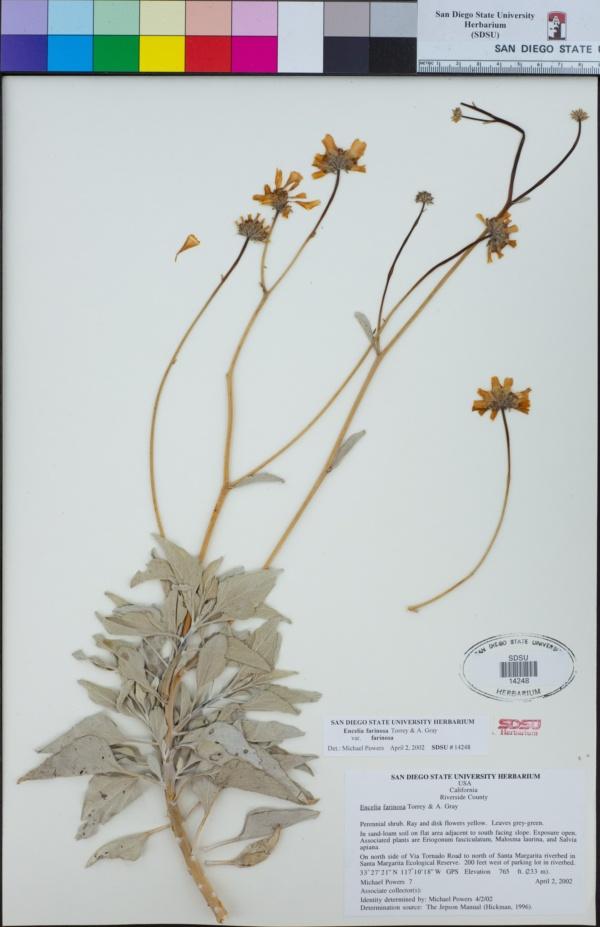 Encelia farinosa var. farinosa image