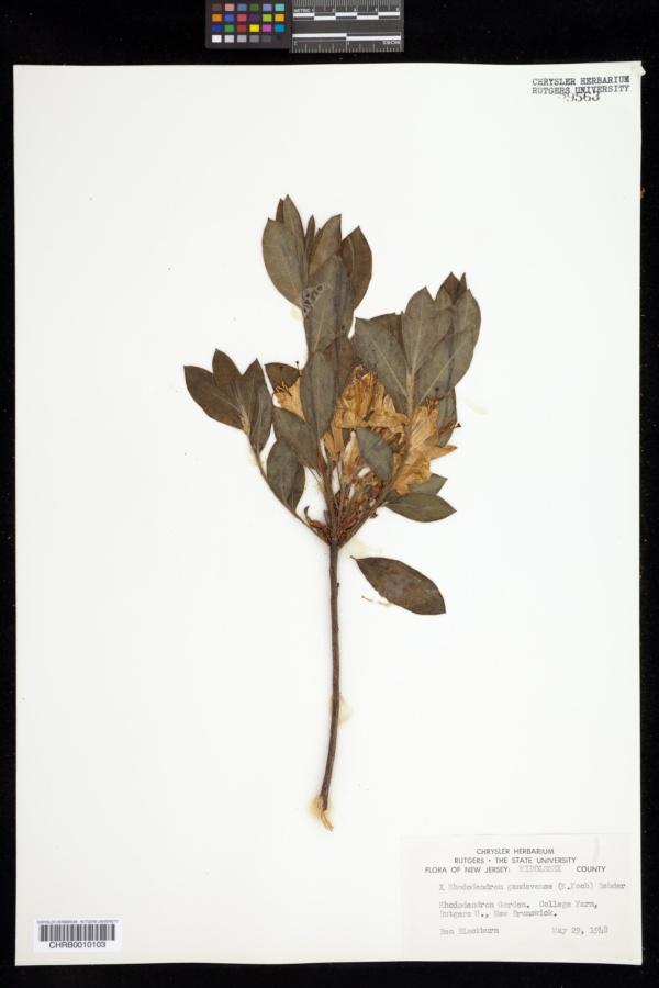 Rhododendron gandavense image