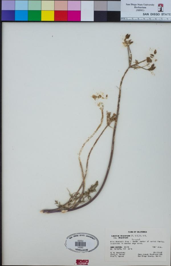 Lomatium dasycarpum image