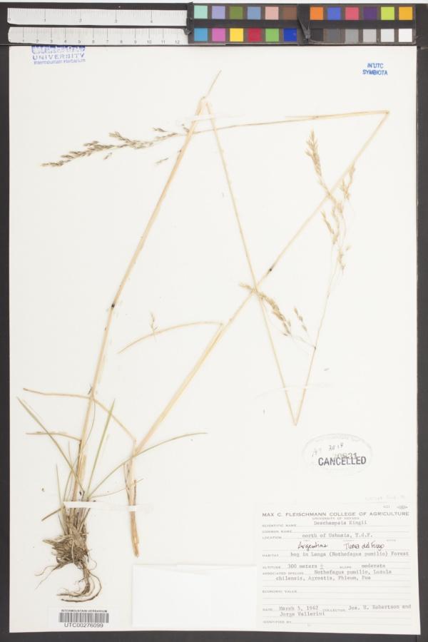 Deschampsia kingii image