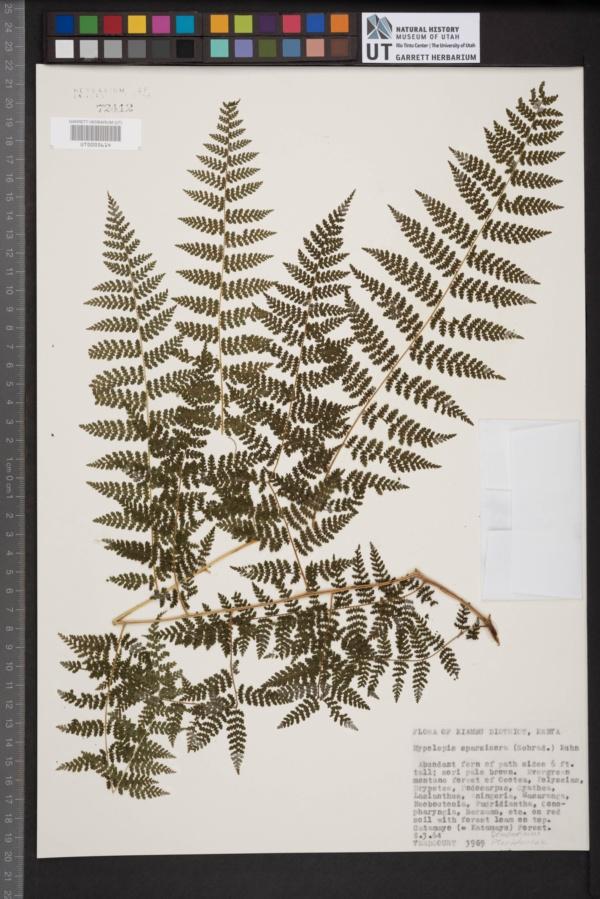 Hypolepis sparsisora image