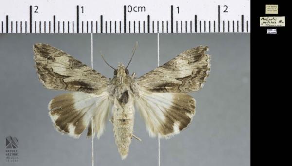 Melipotis jucunda image