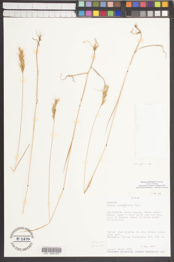 Bromus caroli-henrici image