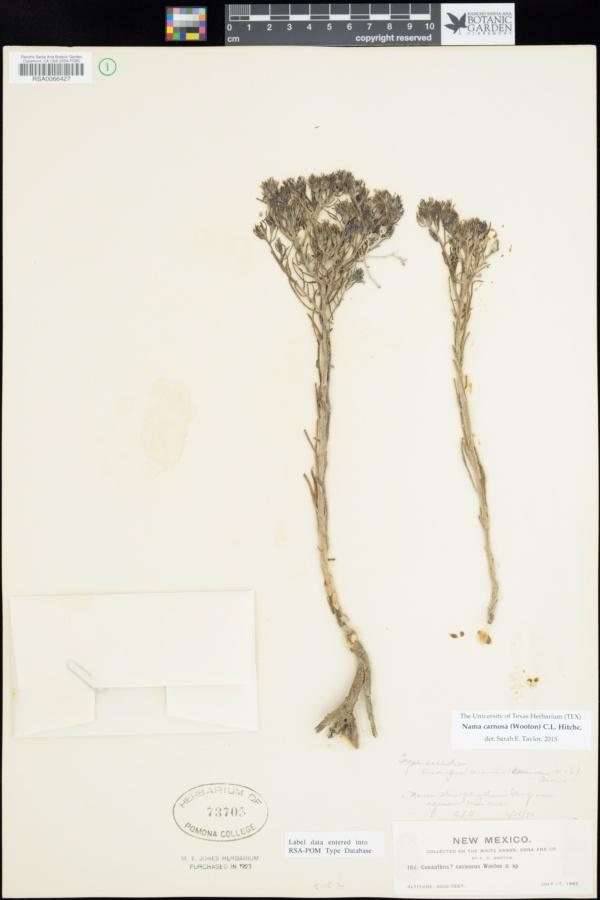 Andropus carnosus image