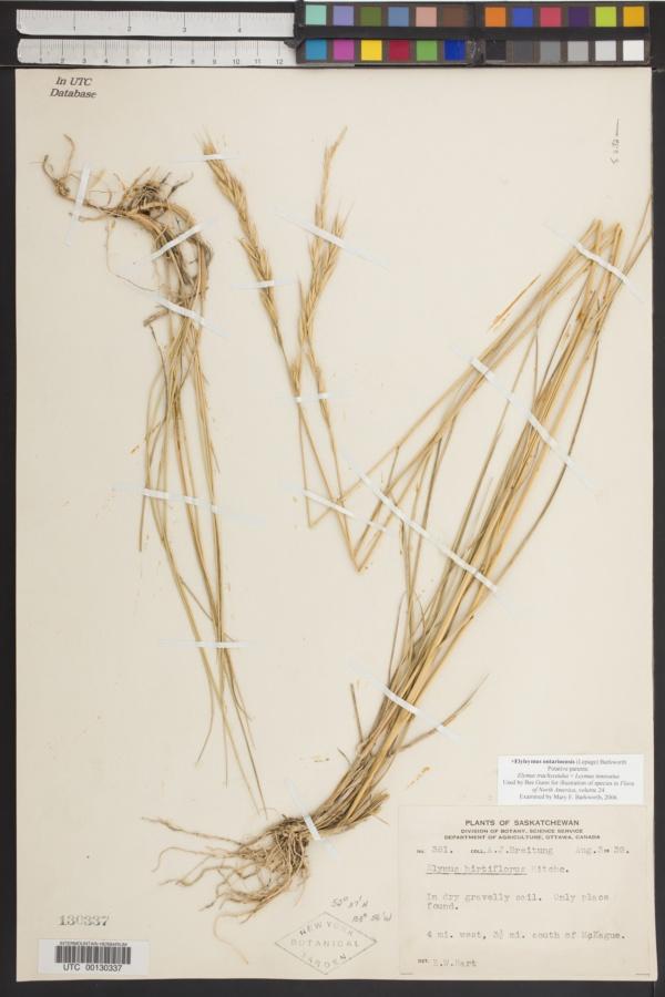 x Elyleymus ontarioensis image
