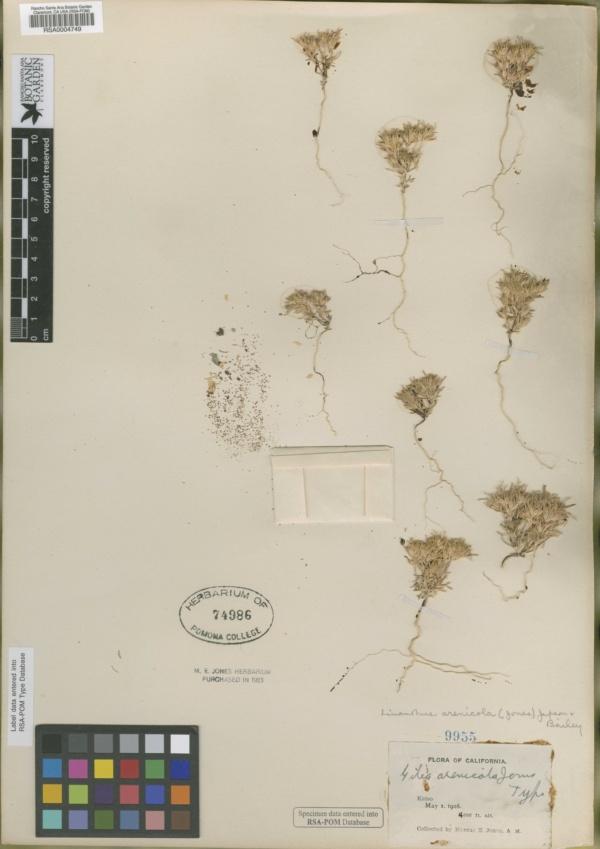Gilia arenicola image