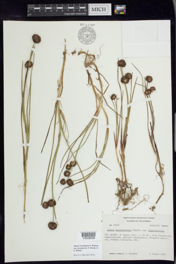 Juncus nevadensis var. inventus image