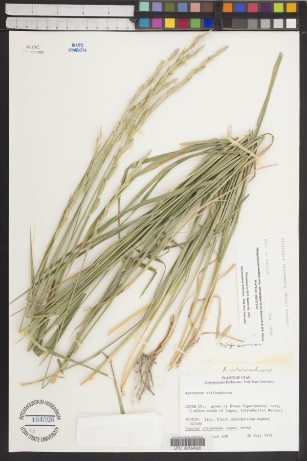 Thinopyrum intermedium subsp. intermedium image