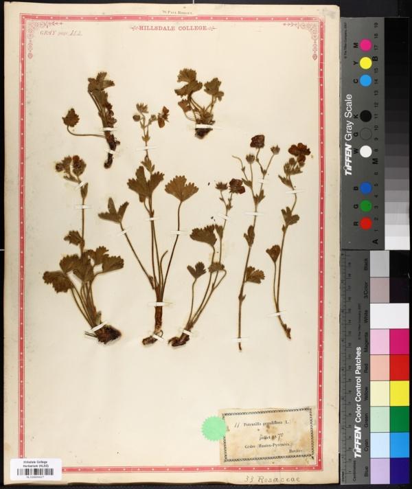 Potentilla grandiflora image