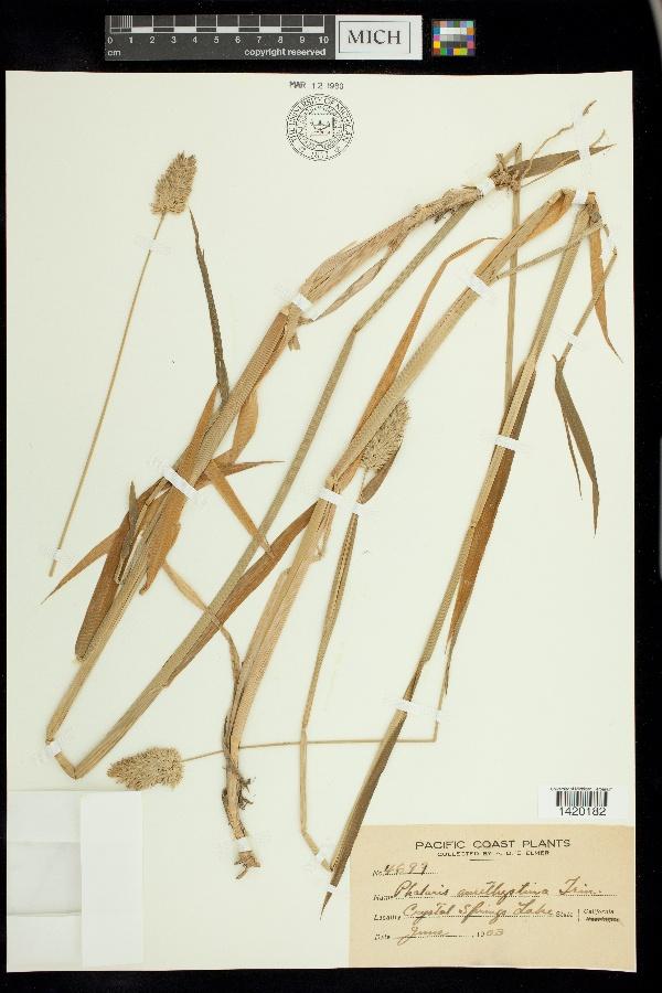 Phalaris amethystina image