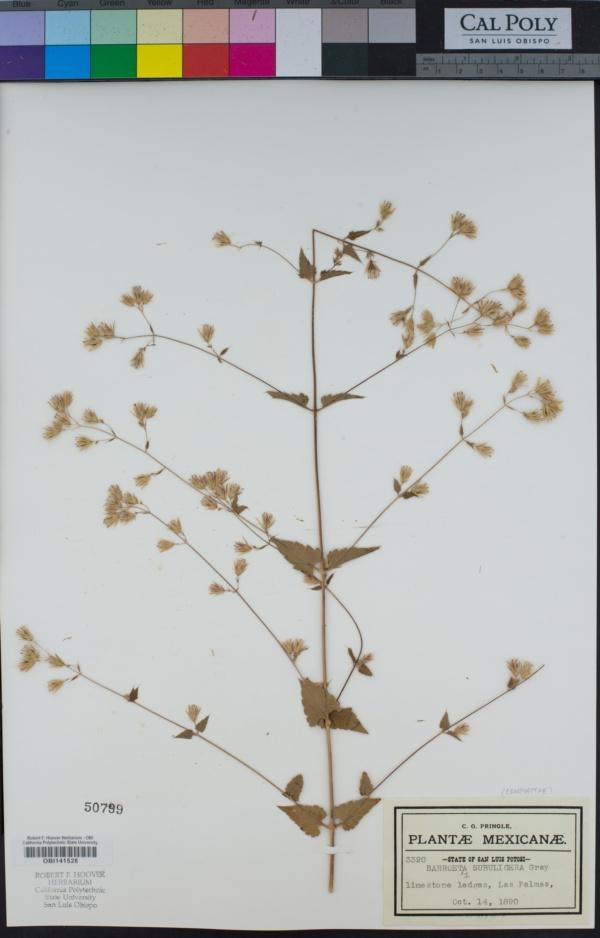 Barroetea subuligera image