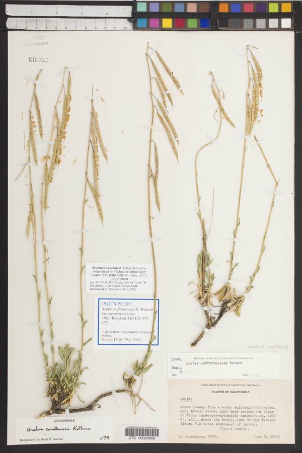 Arabis suffrutescens var. perstylosa image