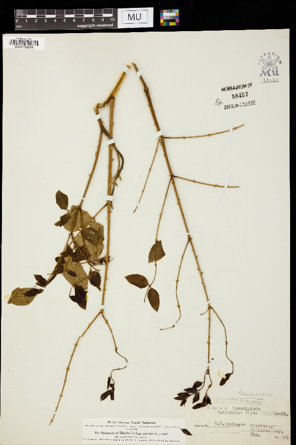 Caesalpinia globulorum image