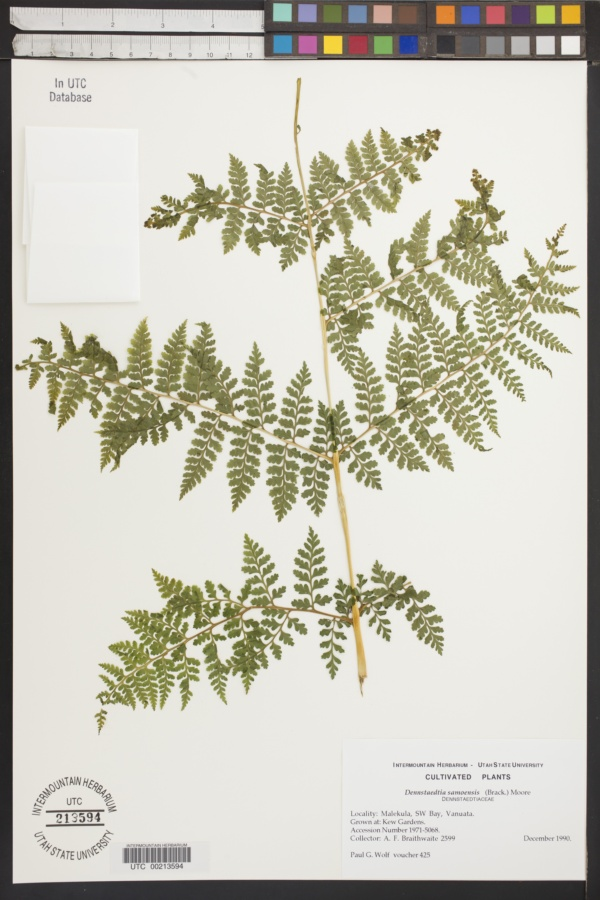 Dennstaedtia samoensis image