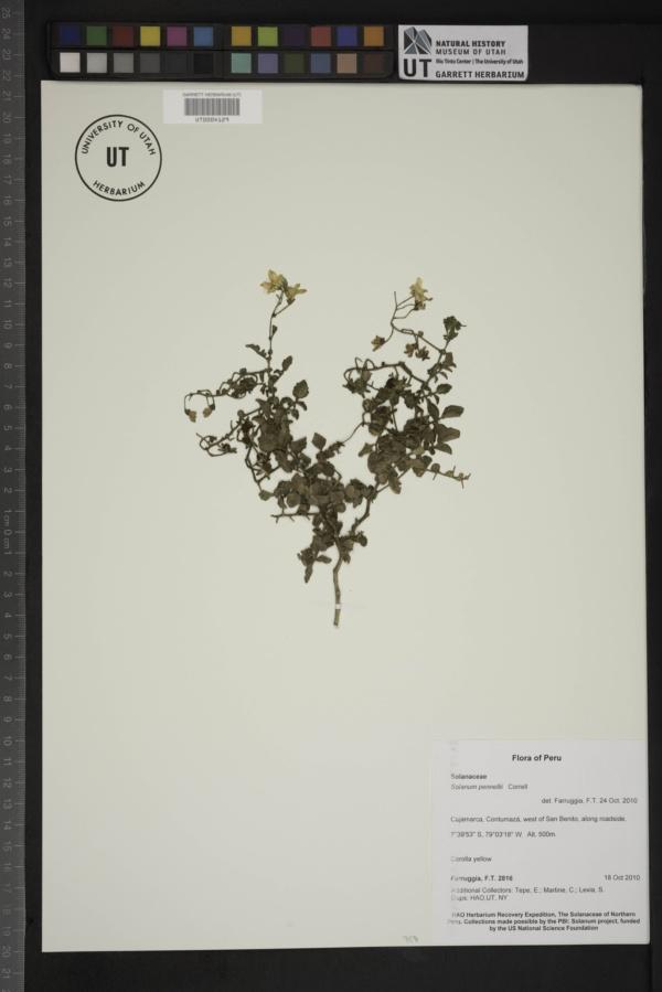 Solanum pennellii image