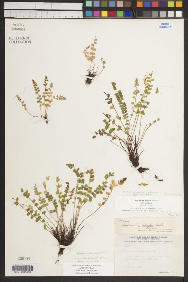 Asplenium trichomanes-ramosum image