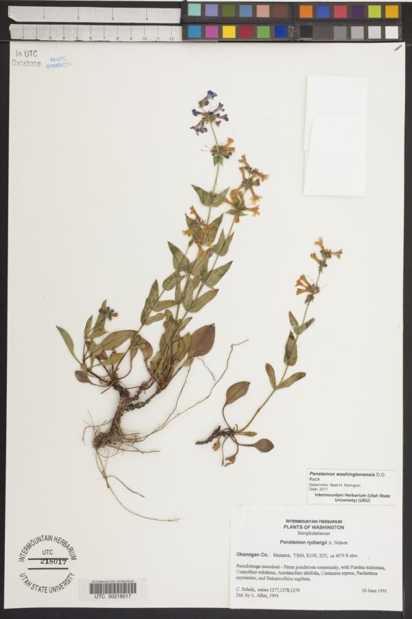 Penstemon washingtonensis image