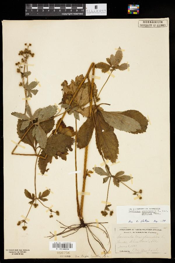 Sanicula canadensis var. grandis image