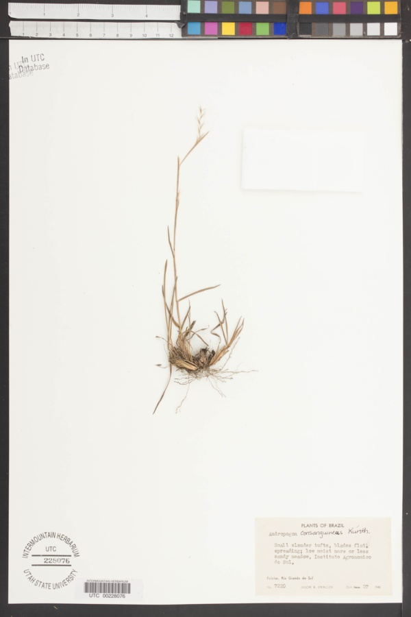 Andropogon consanguineus image