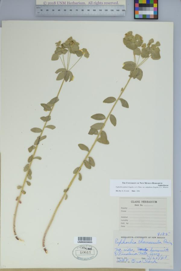 Euphorbia palmeri var. subpubens image