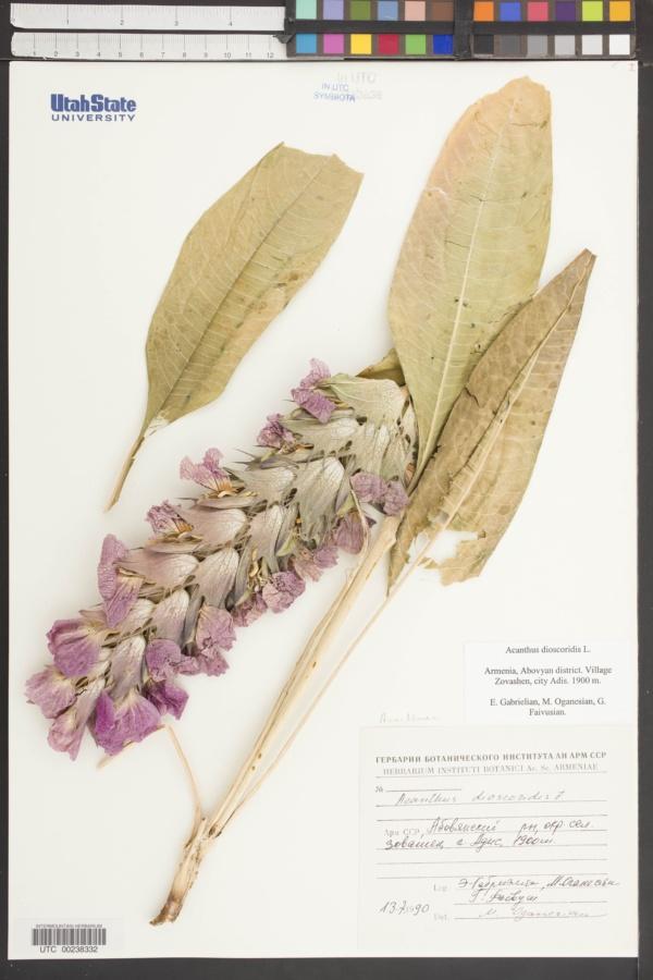 Acanthus dioscoridis image