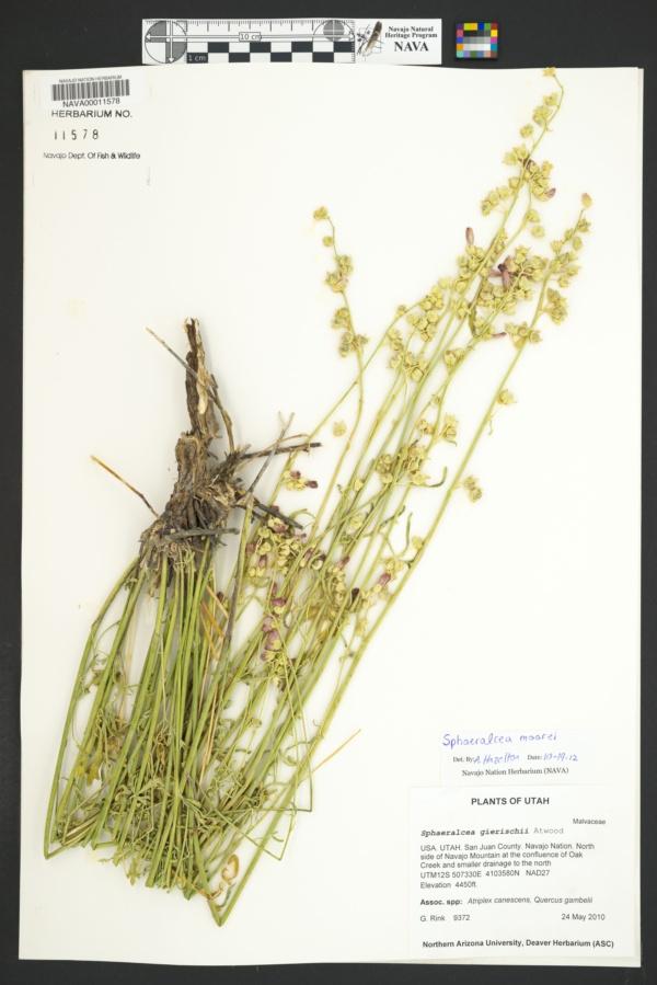 Sphaeralcea moorei image