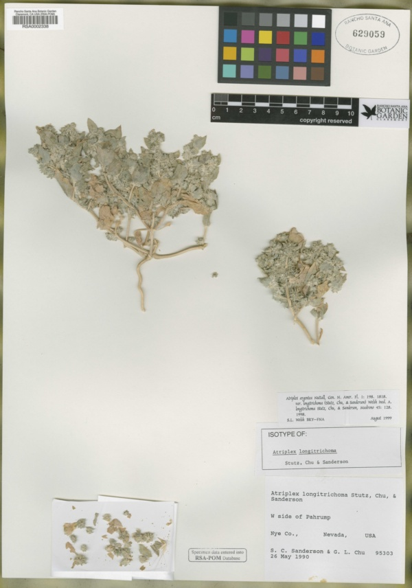 Atriplex argentea var. longitrichoma image