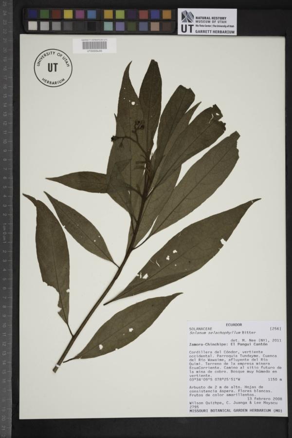Solanum selachophyllum image