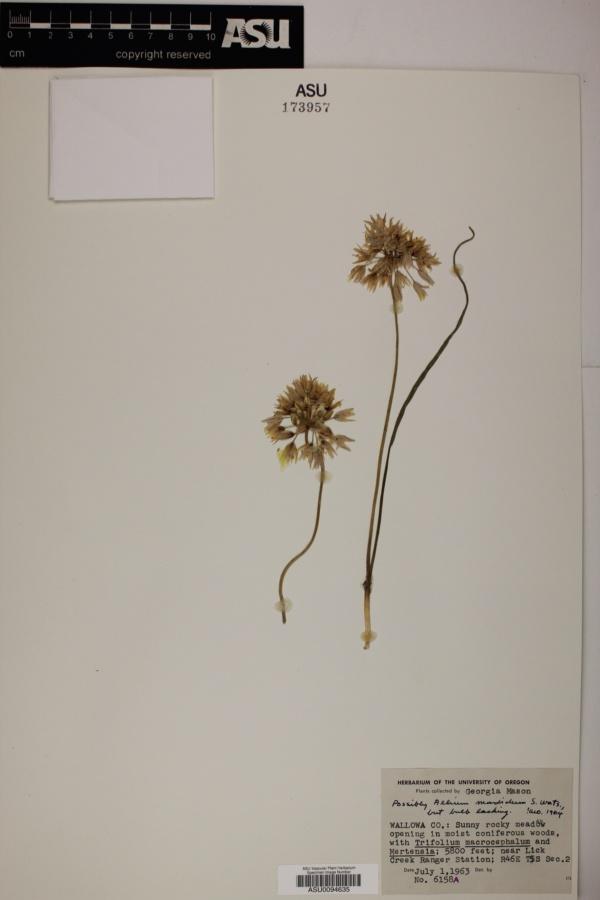 Allium madidum image