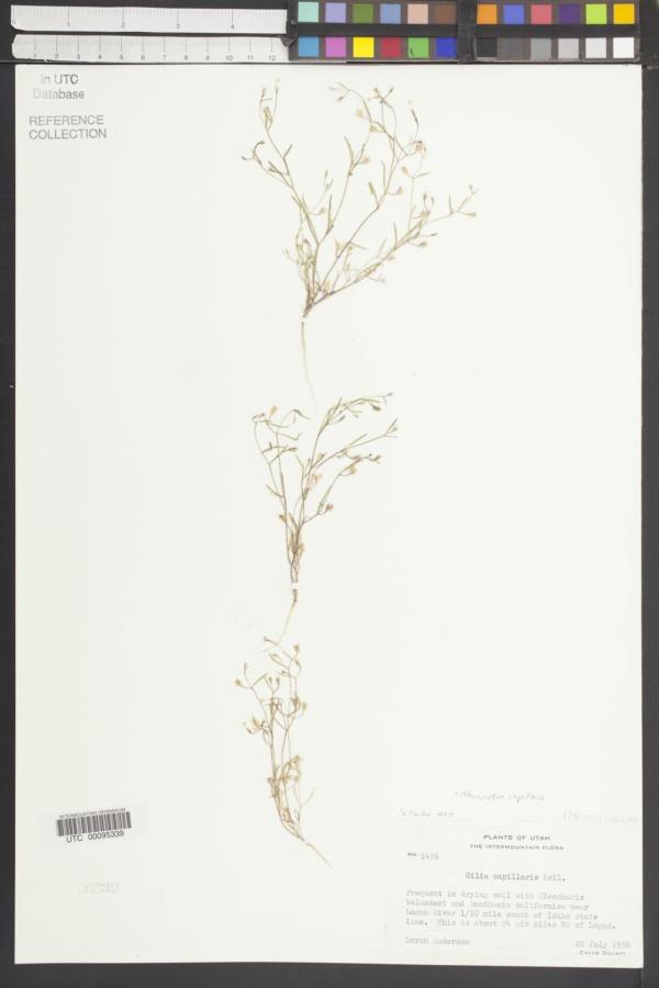 Gilia capillaris image