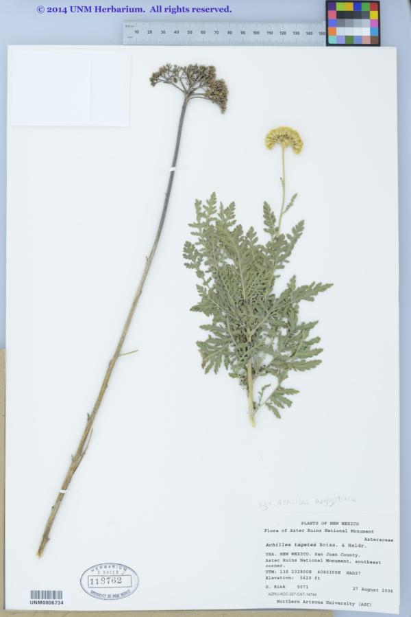Achillea aegyptiaca image