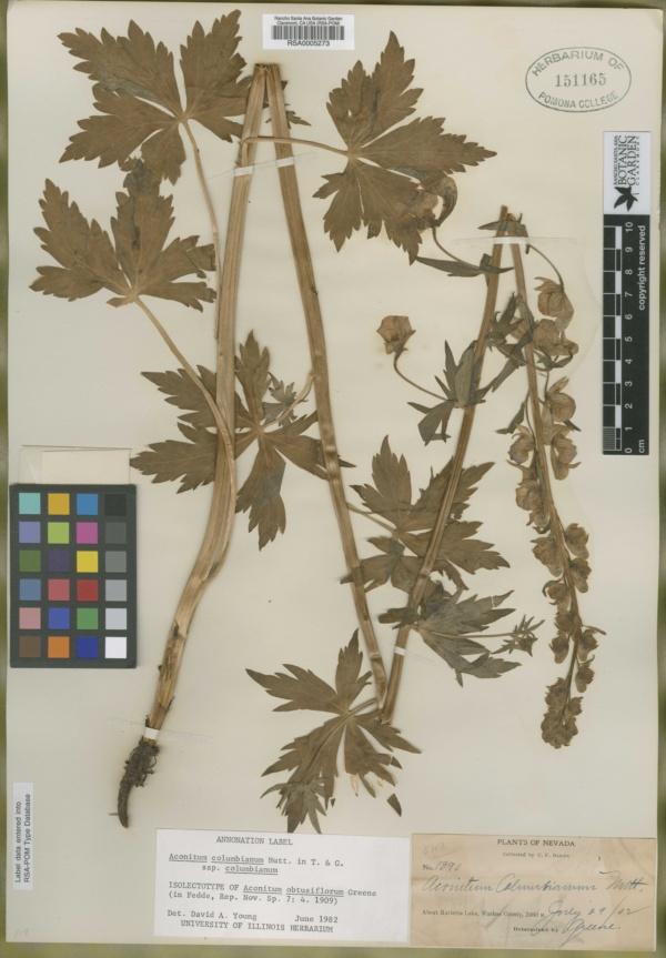 Aconitum obtusiflorum image