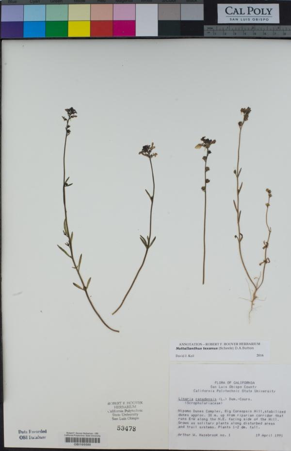 Nuttallanthus image