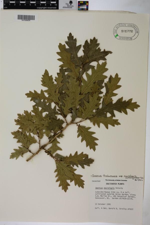 Quercus ithaburensis subsp. macrolepis image