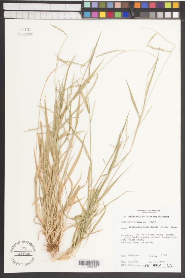Brachiaria miliiformis image