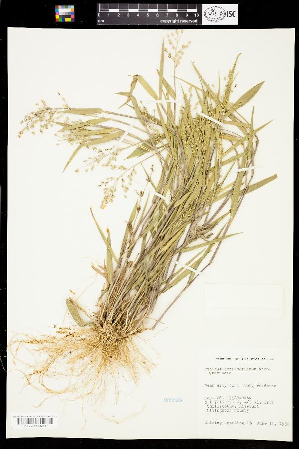 Dichanthelium oligosanthes subsp. scribnerianum image
