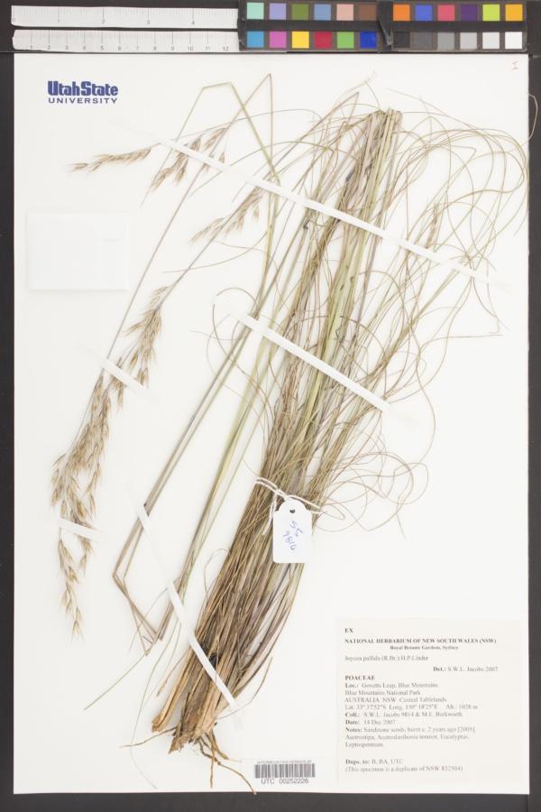 Rytidosperma pallidum image