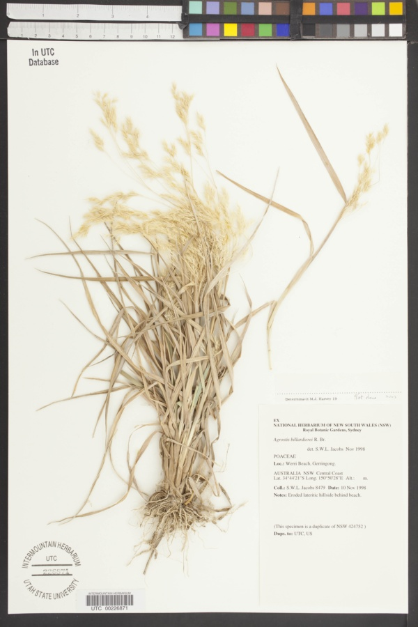 Lachnagrostis billardieri image
