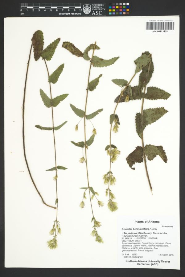 Brickellia betonicaefolia image