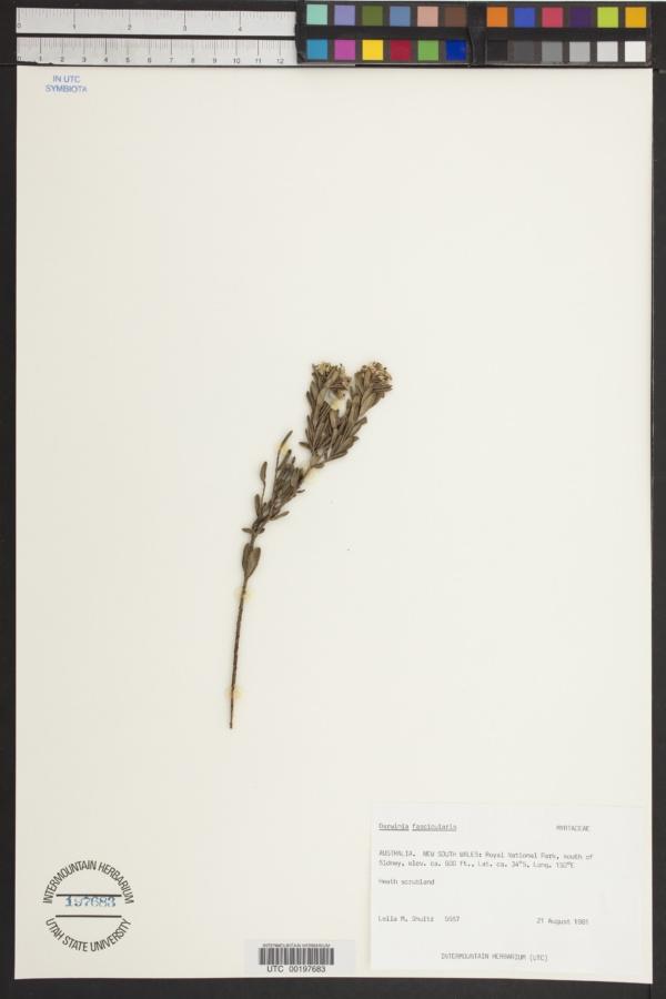 Darwinia fascicularis image