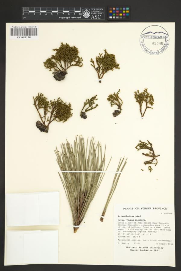 Arceuthobium pini image