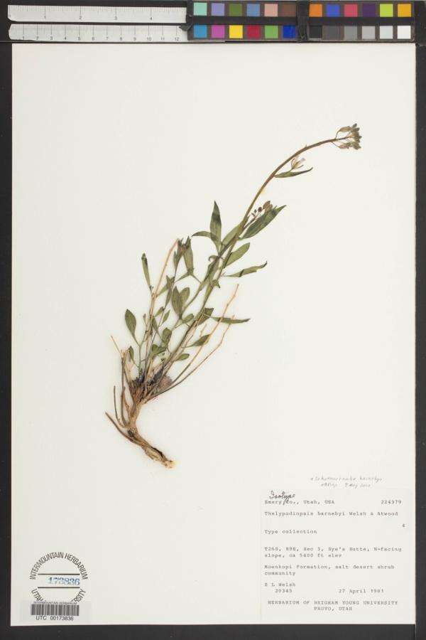 Thelypodiopsis barnebyi image