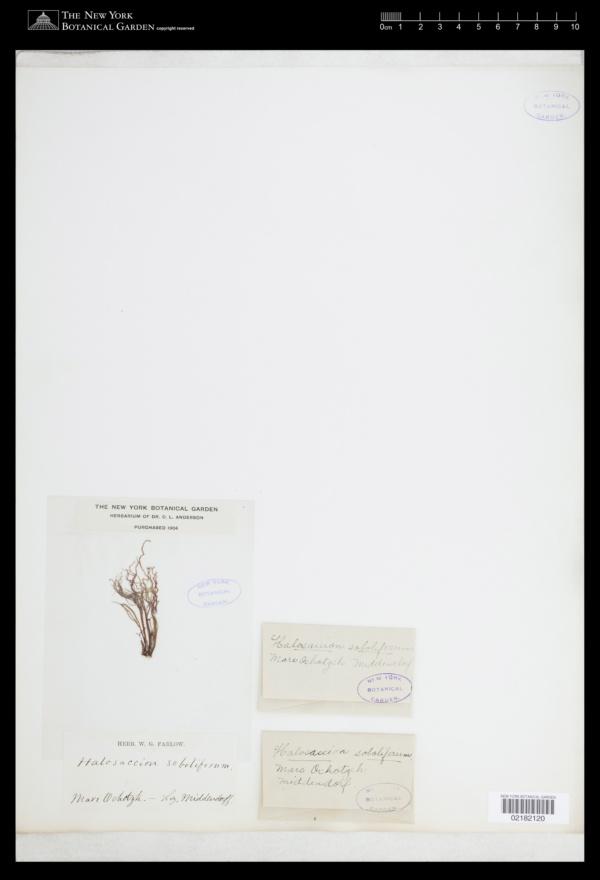 Halosaccion soboliferum image
