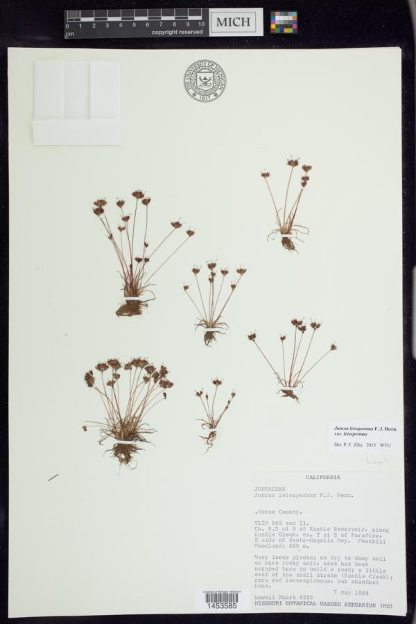 Juncus leiospermus var. leiospermus image