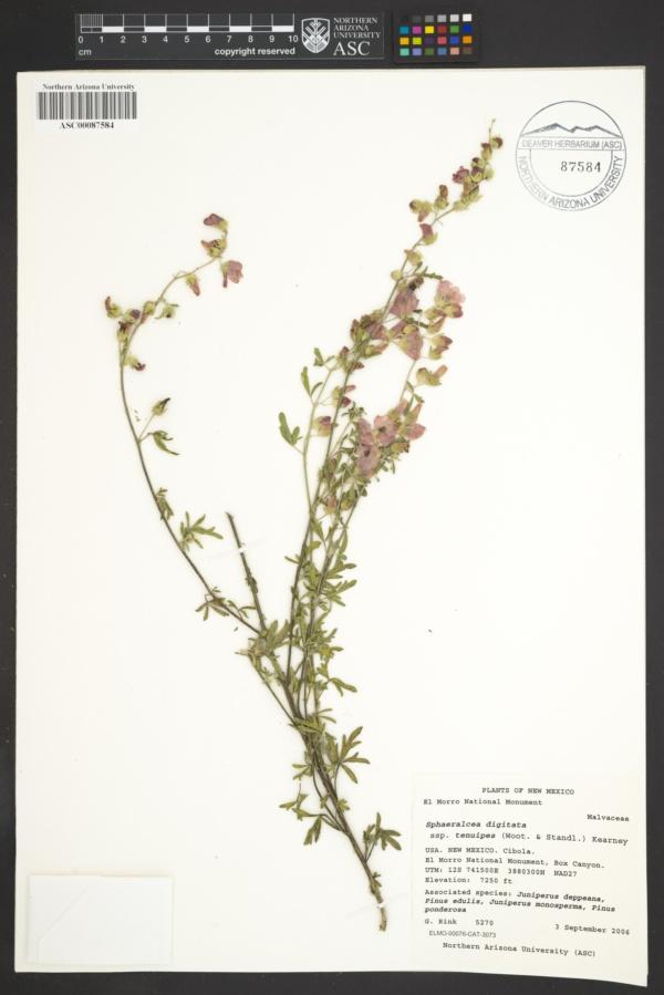 Sphaeralcea digitata subsp. tenuipes image