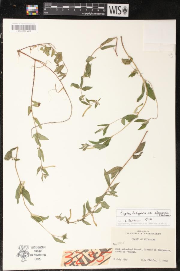 Cuphea lobophora var. elongata image
